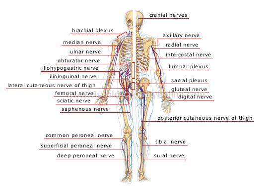 Nerve Damage from Childbirth – Nerve Damage from Childbirth
